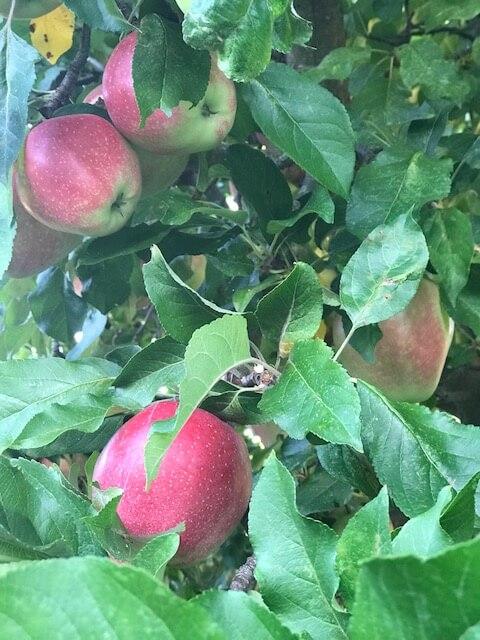 opskrifter med æbler